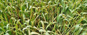 Monitoring bei Pilzerkrankungen im Getreide