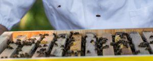 EU stockt Sektorförderung für Bienenzucht auf