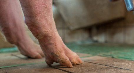 Schweine: Wahlzuckerl Spaltenbodenverbot?