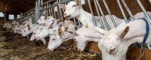 Schaf- und Ziegenmilchproduktion legte 2018 zu