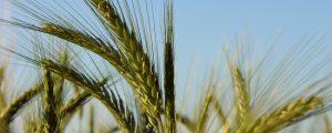 """Richtpreise für Biofuttergetreide """"von Bauer zu Bauer"""""""