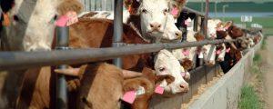 35.000 Tonnen mehr Rindfleisch aus den USA