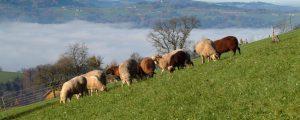 Moosbrugger: Herdenschutz für Almvieh unpraktikabel
