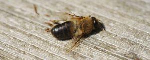 Massenhafte Bienenverluste in Russland