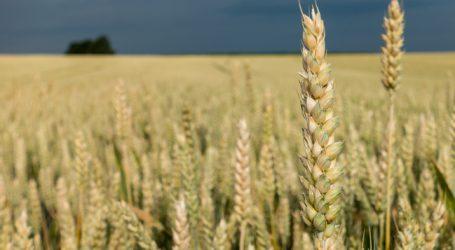 Saatzucht Edelhof züchtet klimafitte Getreidesorten