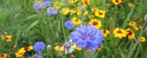 Erfolgreiches Wildblumenwiesen-Projekt im Flachgau