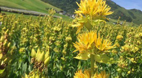 Anbauversuche mit Gelbem Enzian in Tirol