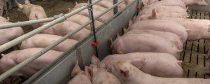 Schlachtreife Schweine werden rar