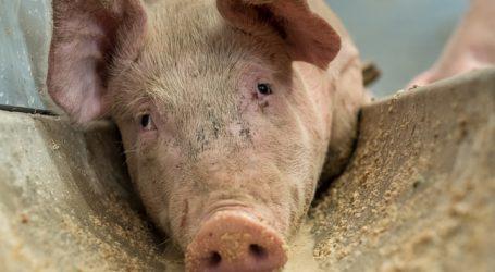Schweine: China-Export macht den Unterschied
