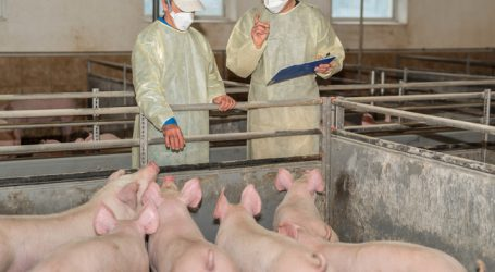 Afrikanische Schweinepest erreicht die Slowakei