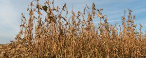 Russland darf mehr Sojabohnen nach China exportieren