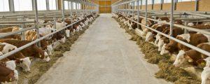 Angebot bei Schlachtrindern bleibt knapp