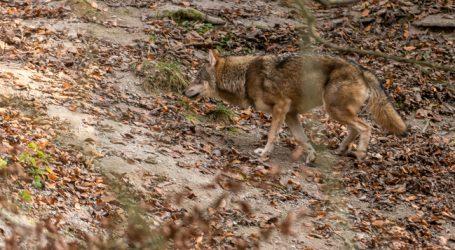 Schafsrisse: DNA-Analyse weist Wolf als Verursacher nach