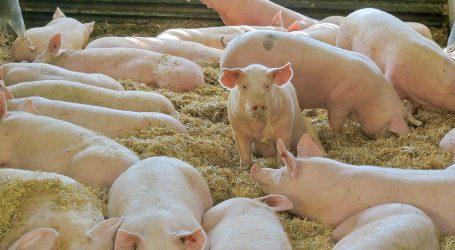 Schlachthöfe suchen jedes Schwein