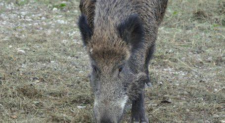 ASP: Mehr Wildschweine infiziert