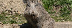 Afrikanische Schweinepest in Westpolen festgestellt