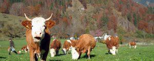 Kieler Uni ermittelt Klimabonus für Weidemilch