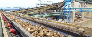 Agrana verarbeitete weniger Zuckerrüben