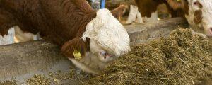 Unklare Todesursache bei verendeten Virgener Rindern