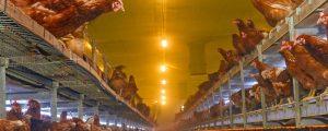 Holland reagiert auf Vogelgrippe in Deutschland