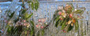 Steirer Obstbauern bangen um Marillen