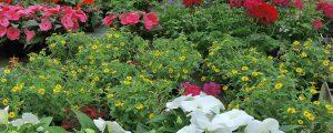 Heimische Gärtner liefern bis vor Gartentor