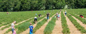 Erdbeerfelder online entdecken