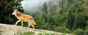 Wolf im Zillertal dokumentiert