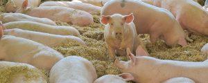 Schweinepreise trotzen Tönnies-GAU