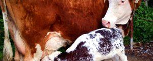 Ein Kalb braucht Milch, Milch, Milch