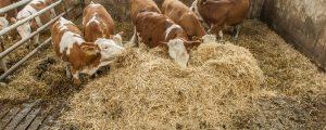 Gute Nachrichten für Rindfleischerzeuger