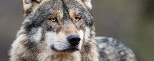 DBV: Immer mehr Wolfsrisse