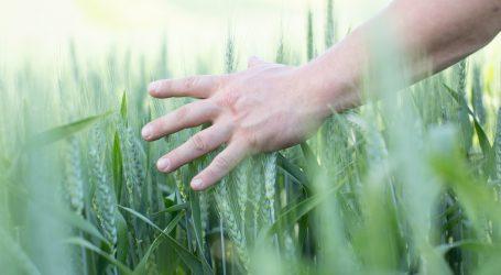 Edelhofer Bio-Winterweizensorten glänzen bei Ertrag