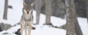 Notfallteams im Projekt Koexistenz von Wolf und Mensch