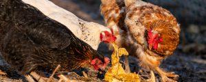 Vogelgrippe in Mühlviertler Kleinbestand