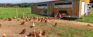 EU-Agrarausschuss debattiert Käfigverbot