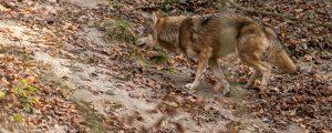 Verdacht auf Wolfsriss nördlich von Linz