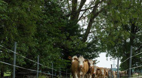 Klimaerwärmung fördert Pilzgifte auf Weiden